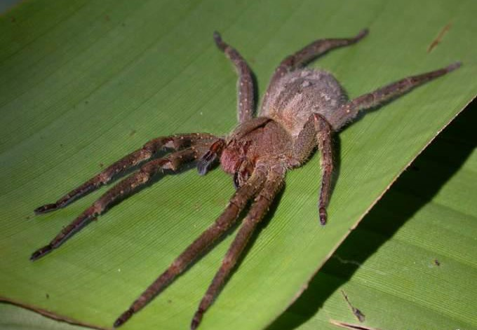 201506_1354078650_1354065011_brazil-spider2.jpg