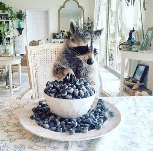 201610_raccoon_1477081318_pyat-6.jpg