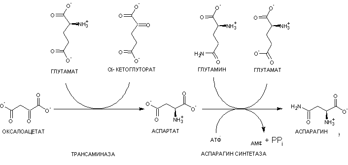 Asn_biosynthesis_2019-03-09.PNG