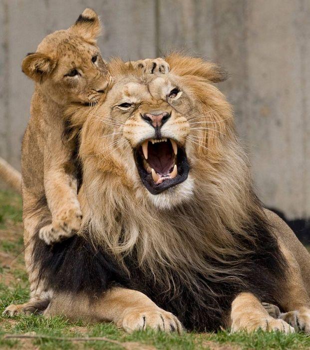 130831_Lion.jpg