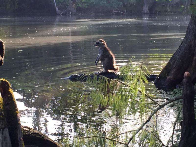 201512_racoon_alligator.jpg