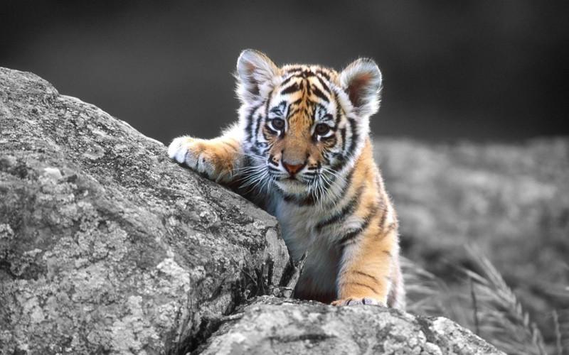 201602_tiger_08.jpg
