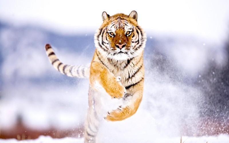 201602_tiger_09.jpg