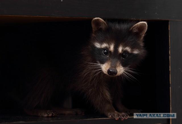 201609_raccoon_8351315.jpg