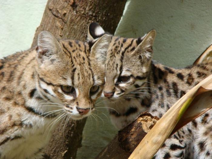 201610_Leopard_cat_12.jpg