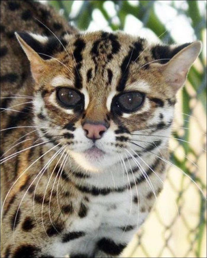 201610_Leopard_cat_15.jpg