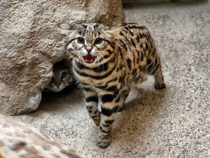201610_Leopard_cat_17.jpg