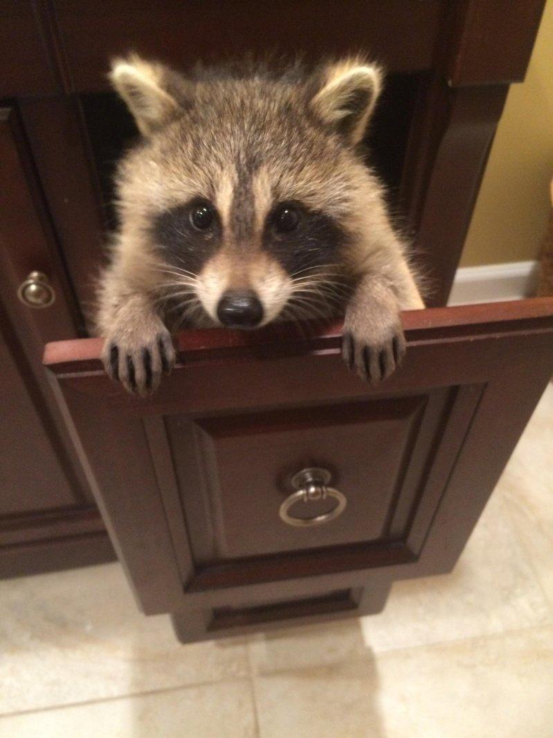 20170630_raccoon.jpg