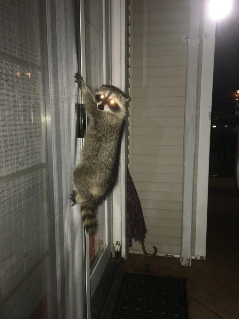 20170630_raccoon_2.jpg