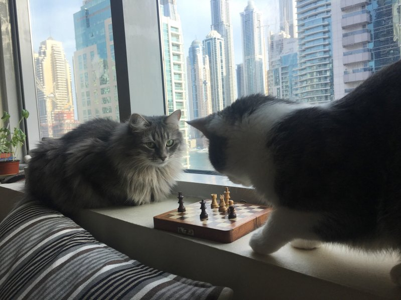 201707_chess_cats.jpg