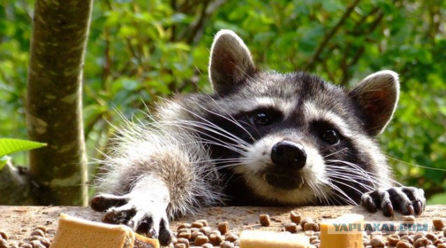 201805_raccoon.jpg