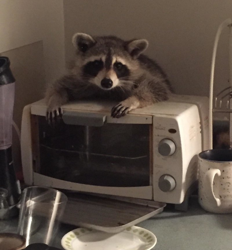 201809_raccoon_hf.jpg