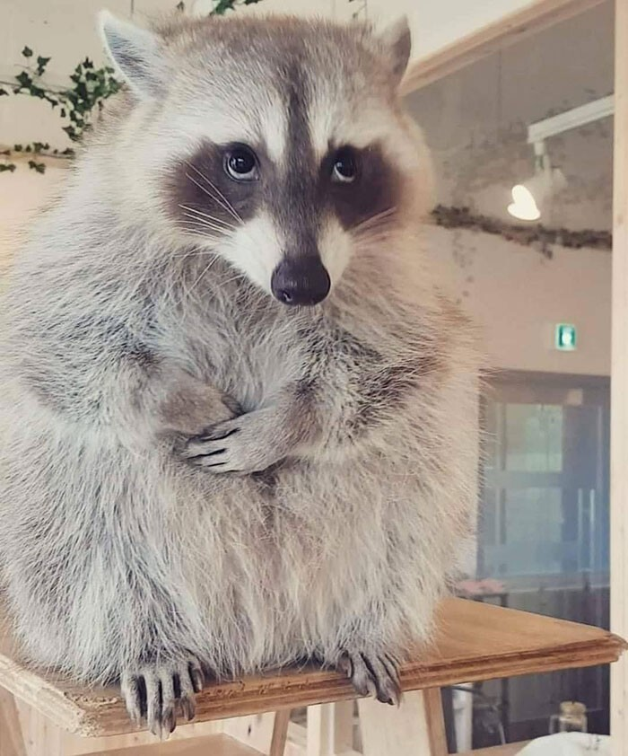202010_raccoon.jpg