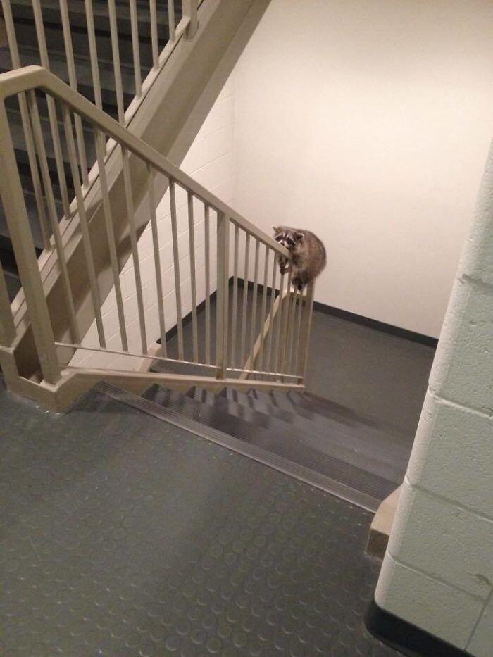 2020_raccoon_stair.jpg