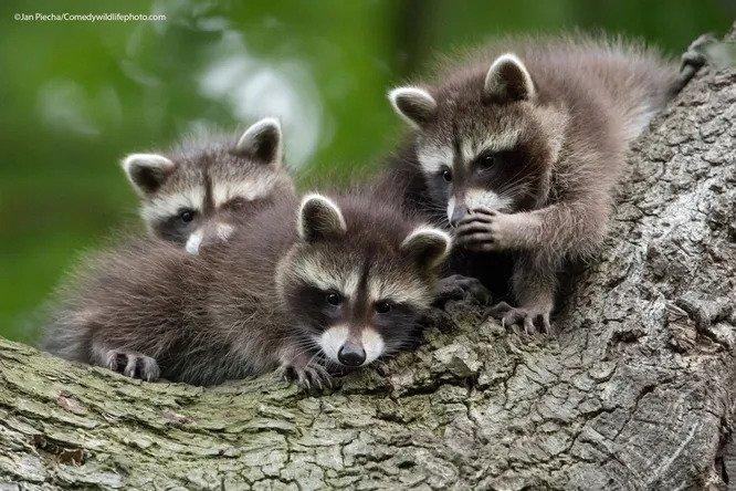 2021_09_raccoons.jpg