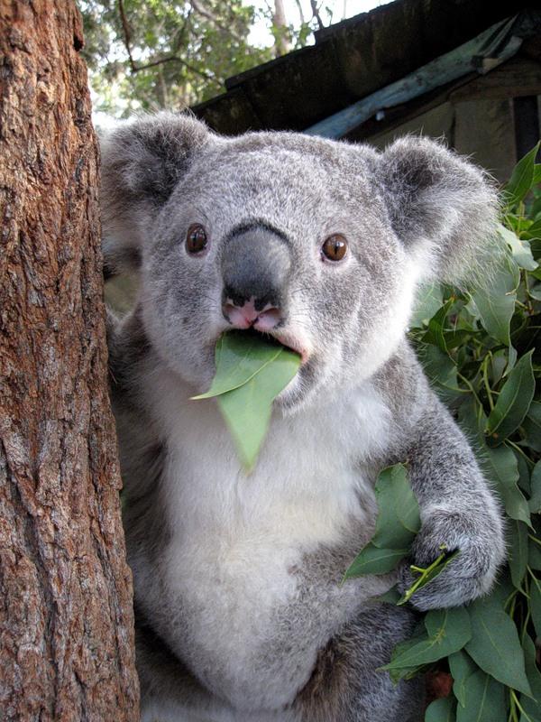 koala-11.jpg
